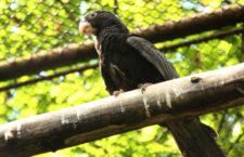 Mláďata vazů velkých odchovaná v Zoo Brno získal singapurský Jurong Bird Park