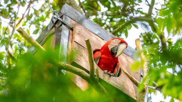 Návrat arů zelenokřídlých do argentinské přírody: poprvé po 150 letech úspěšně vyhnízdili ve volnosti