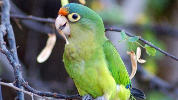 Příběhy ohrožených papoušků z Červené knihy IUCN 2020: aratinga oranžovočelý