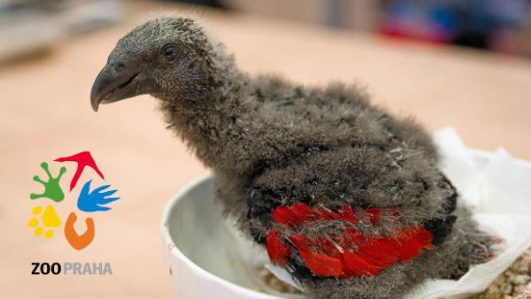 Pražská zoo poprvé odchovala vlastního trichu orlího, mládě dokrmuje ručně
