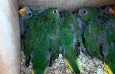 Zlom v záchranném projektu neofém oranžovobřichých: v přírodě se vylíhlo 88 mláďat, nejvíc od roku 1994