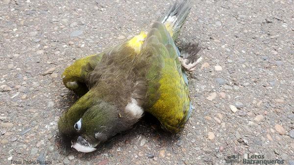Argentina si láme hlavu nad masivním úhynem papoušků patagonských. Může za něj La Niña?
