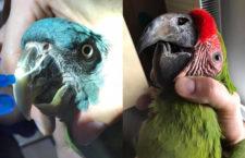 Z koronavirového deníku chovatele: Ach ty zobáky!