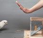 Kakadu naučil další papoušky vyrábět a používat nástroje, kterými získají pamlsek
