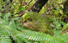 Populace kakapů sovích opět klesá. Od prosince uhynuli tři ptáci, celkem je jich 206