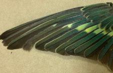 Neofémy oranžovobřiché vylíhlé v zajetí mají zaoblenější křídla. Ohrožuje je to při migraci