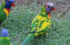 Australany překvapil mutační lori mnohobarvý v hejnu s přírodně zbarvenými ptáky