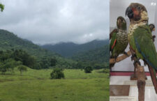 Další expedice se snaží v Kolumbii objevit bájného pyruru z údolí Sinú. Naposledy byl spatřen v roce 1949