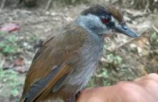 Na Borneu objevili po 172 letech timálii černobrvou. Předpokládalo se, že vyhynula okolo roku 1850