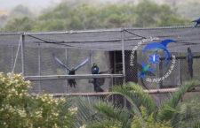 Ary kobaltové v Brazílii nevypustil pouze Loro Parque, ale i Fazenda Cachoeira. Dohromady jich bylo šest