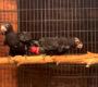 Video novinky ze světa papoušků: nezvyklé páření vazů velkých, drzý nestor kea a zajímavosti o arech
