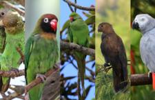 Znáte pět nejvzácnějších afrických papoušků? Nechybí mezi nimi žako ani agapornis
