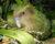 Vědci podrobně zmapují genomy všech kakapů sovích, chtějí eliminovat neplodné a nemocné ptáky