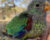 Kriticky ohrožení latamové vlaštovčí záměrně odchovávají samce, protože v přírodě spíše přežijí. Samic ubývá