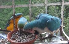 Video novinky ze světa papoušků: modrá mutace ararauny mezi paneláky, invaze kakaduů a chytré budky pro latamy