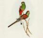 Papoušek překrásný vyhynul před téměř 100 lety. Poslední ptáky stříleli jako důkaz pozorování