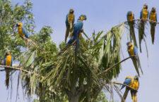 Florida chrání zdivočelé ary ararauny, kvůli pytlákům vyhlásila ptačí rezervaci