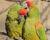 Dobré zprávy z Bolívie: arů červenouchých přibývá, letos jich sečetli 1 160
