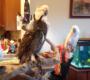 Video novinky ze světa papoušků: tokající kakapo, s kamerou na bidle za hnízdy arakang a výr vs. kakadu