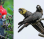Pětinu populace kakaduů přilbových a hnědohlavých zabily požáry. Vědci je chtějí zařadit mezi ohrožené druhy