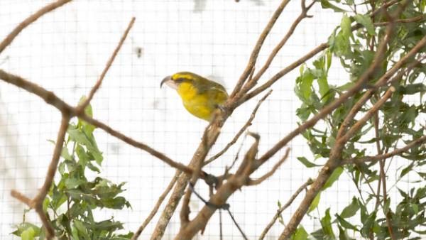 """Dva roky ho považovali za uhynulého, ale """"papouščí"""" pták šatovník lesní přežil a dává naději svému druhu"""