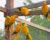 V brazilském Belému se připravuje dalších pět párů aratingů žlutých na vypuštění do přírody