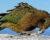 Divoké kočky na Novém Zélandu se naučily lovit nestory kea. Je to čím dál větší problém