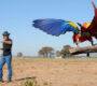 Ochočení papoušci vycvičení na volný let mají pomoci zakládat nové divoké populace v Brazílii a Hondurasu