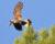 Otrávené návnady na myši ohrožují kakaduy krátkozobé, ochránci naléhají na farmáře