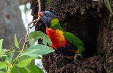 Kakaduové žlutočečelatí v Austrálii bojují o hnízdní dutiny s lorii mnohobarvými