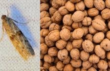 """Pozor na moly ve vlašských ořeších. Při špatném skladování se vám """"motýlci"""" rozletí po celém bytě"""