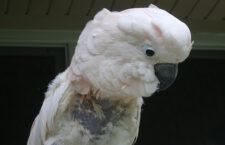 Proč se papoušci škubou? Jedním z důvodů je nuda: v přírodě hledají potravu i 18 hodin denně, v zajetí jen hodinu