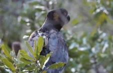 Vědce překvapil kakadu žlutouchý, jemuž zůstal GPS lokátor i pět let po nasazení