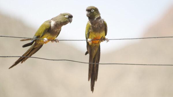 Papoušek patagonský hraje důležitou roli při reprodukci stromů rohovníků, zjistili vědci