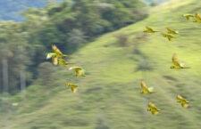 Kolumbijští ochránci přírody nalezli novou lokalitu s papoušky žlutouchými
